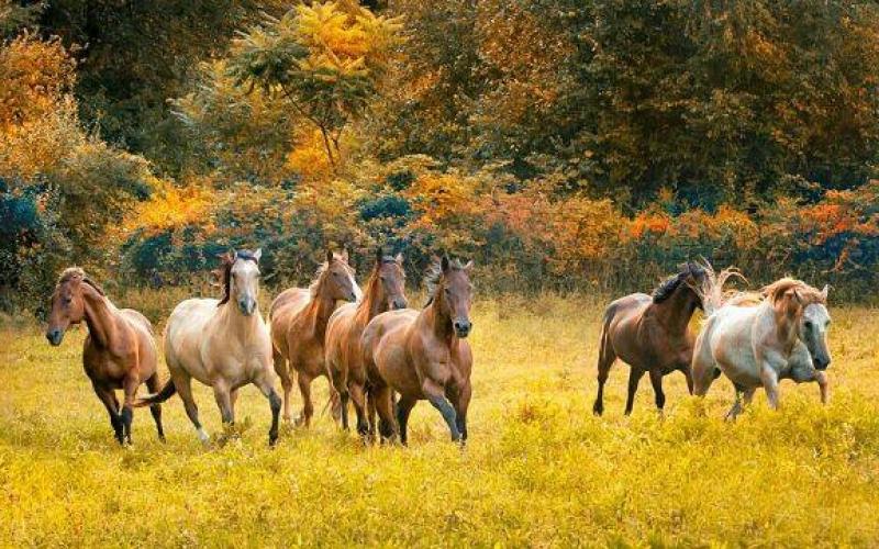 Qarabağ atlarının tarixi şöhrəti özünə qaytarılır