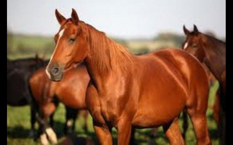 Vüqar Şixəmmədov: Azərbaycana məxsus Qarabağ atları ilə bağlı erməni uydurmalarının heç bir əsası yoxdur